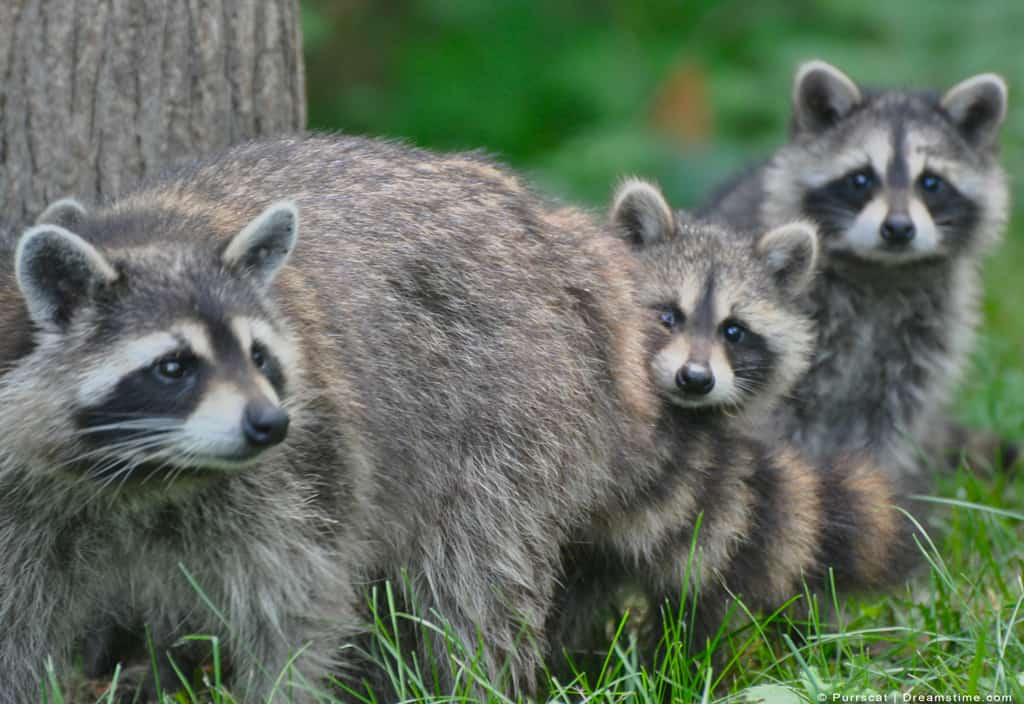 Raccoon Mother With Her Kits