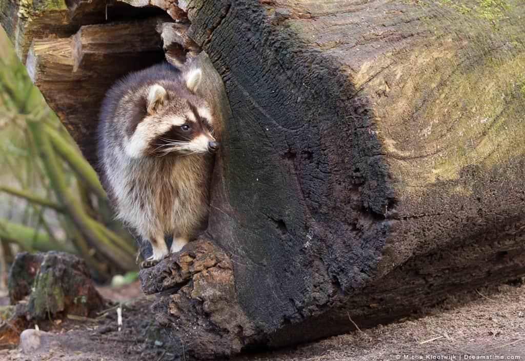 Adult Raccoon Nesting Inside of Tree