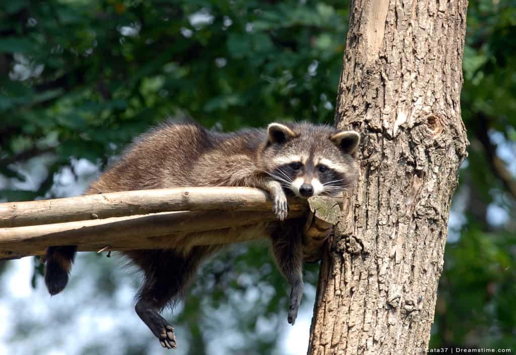 Raccoon Sitting in Tree High Up