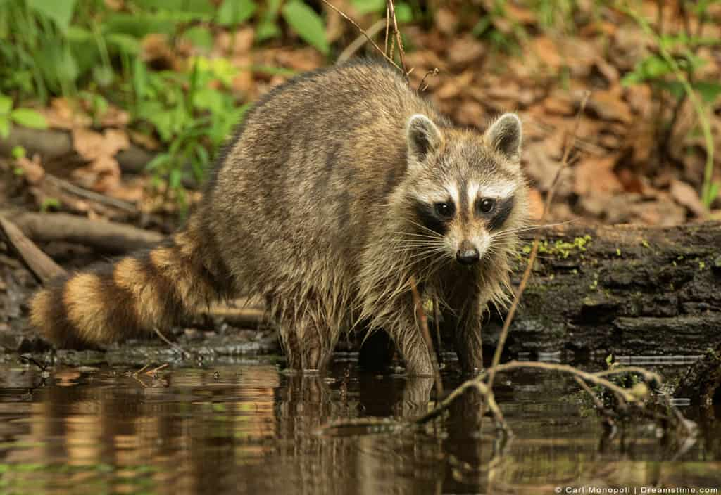 Raccoon Standing in Shallow Pond Water