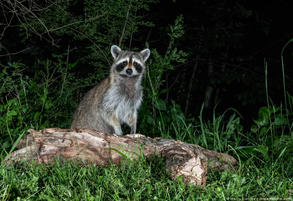 Raccoon at Night on Log in Forest