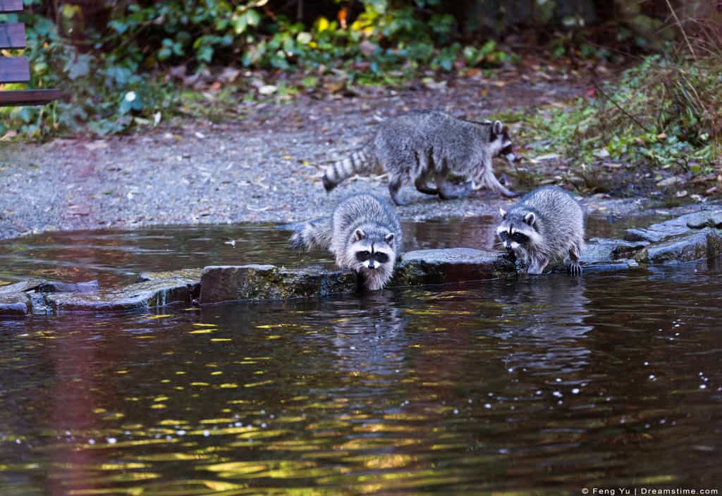 Raccoons Hunting Fish in Shallow Water