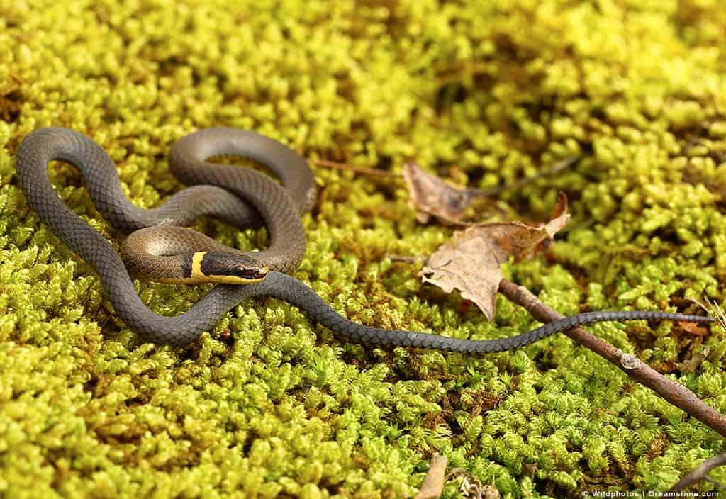 Ringneck Snake on Green Moss