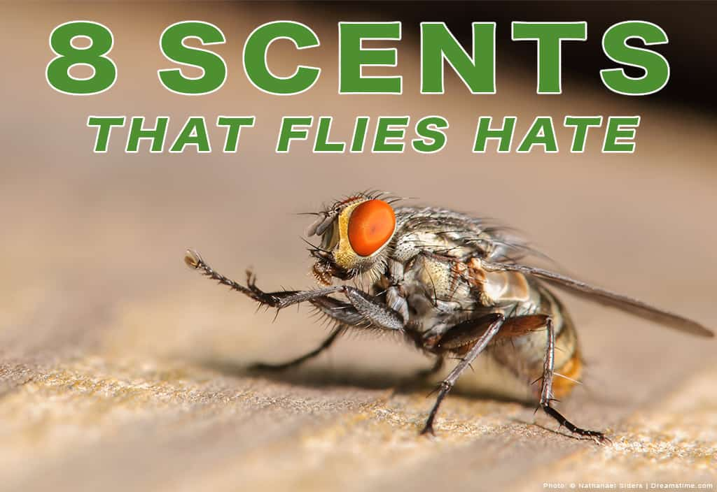 """Close Up Shot of Fly Zoomed in With Text """"8 Scents Flies Hate"""" Over Top"""