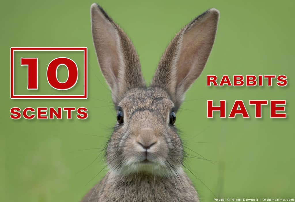 """Rabbit Face Up Close with Text """"10 Scent Rabbits Hate"""" Overtop"""