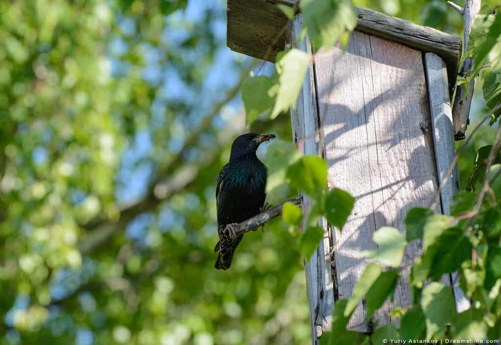 Starling Sitting on Birdhouse Perch With Insect in Beak