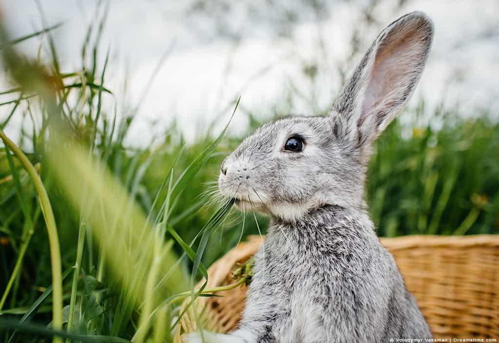 White Bunny in Basket in Garden Grass in Mouth