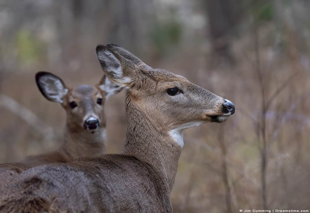 White Tailed Deer (Doe) in Forest