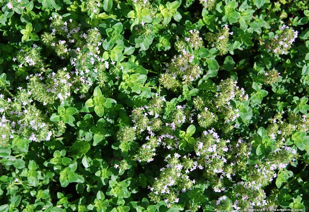 Wild Thyme in Nature