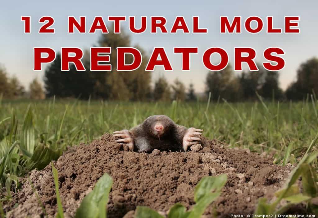 Mole Looking at Camera with 12 Natural Mole Predators Text Overtop