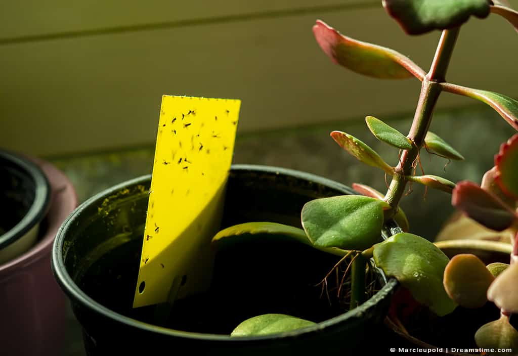 Gnats trapped on yellow sticky trap