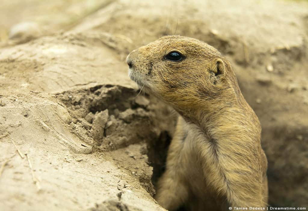 Gopher Perched Up in Hole