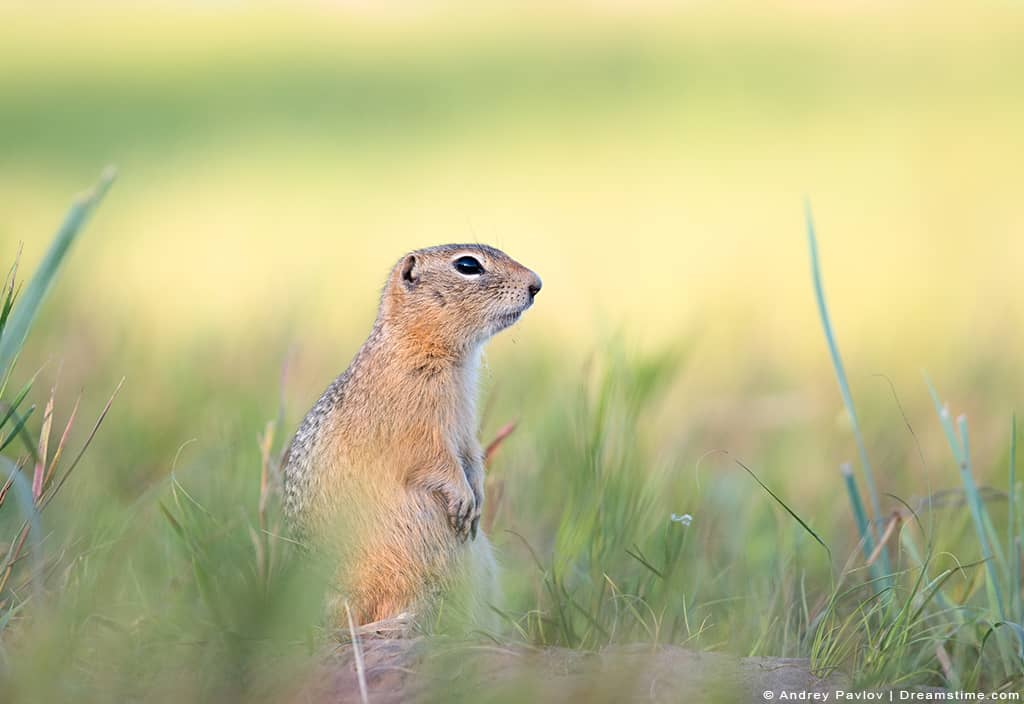 Gopher Standing on Grass