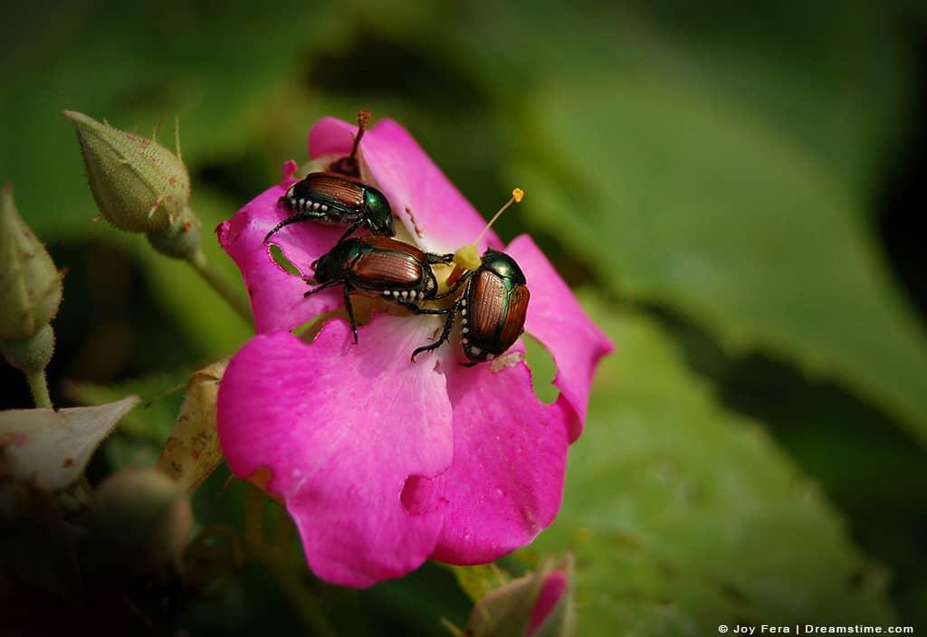 Japanese Beetles Devouring Rose