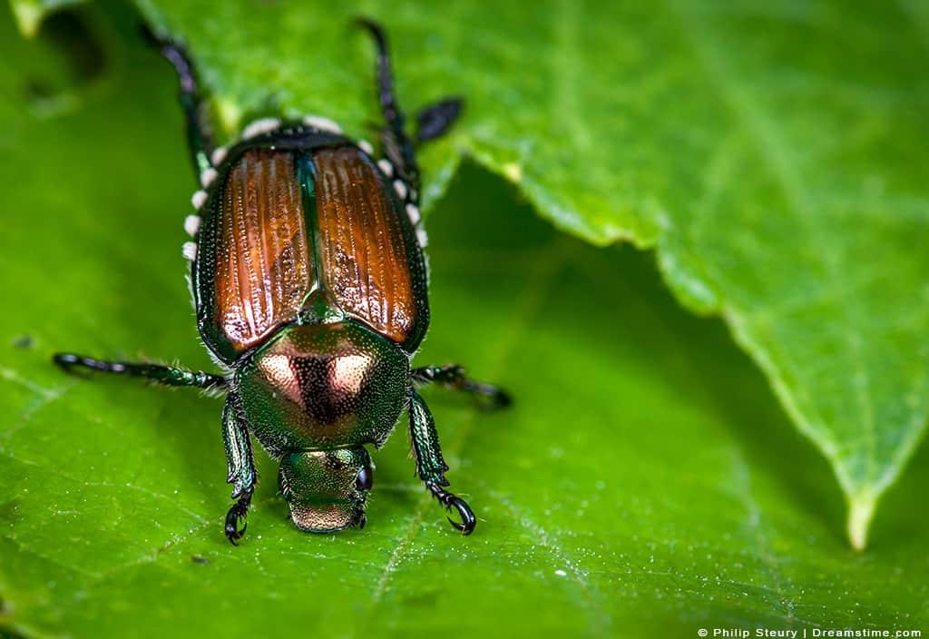 Japanese Beetle on Leaf