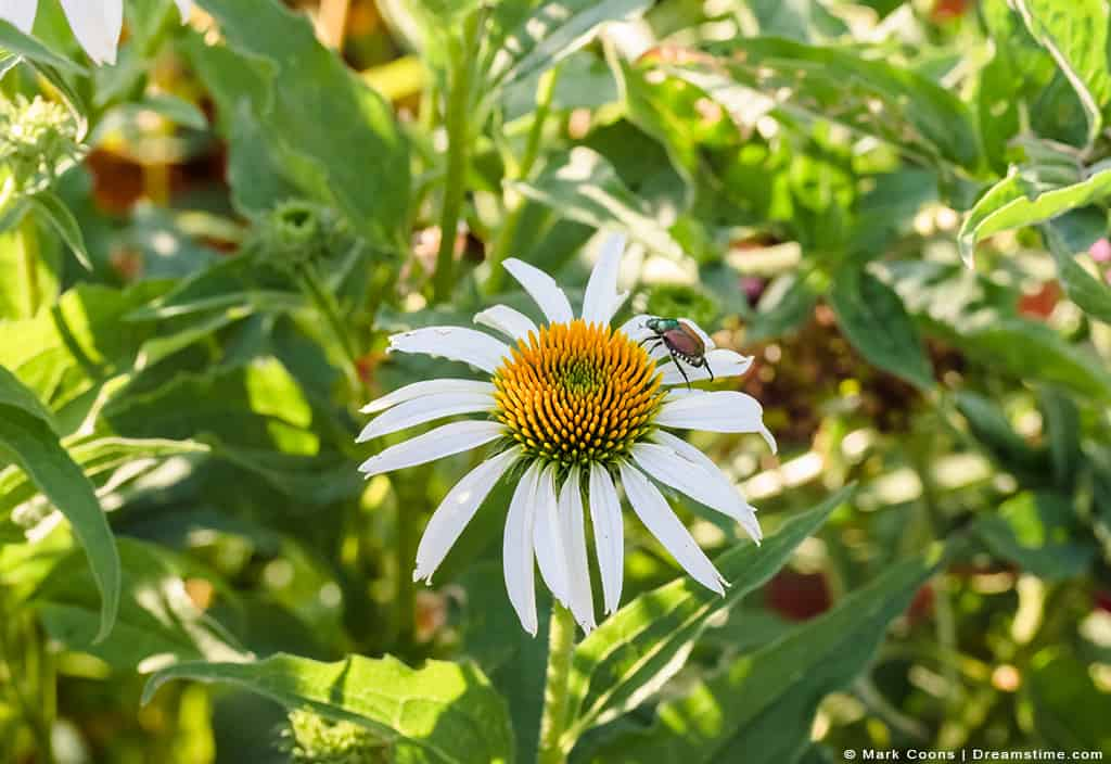 Japanese Beetle on Top of White Daisy