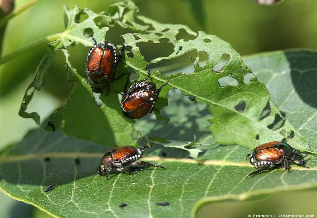 Japanese Beetles on Plant Leaf With Holes in Leaf