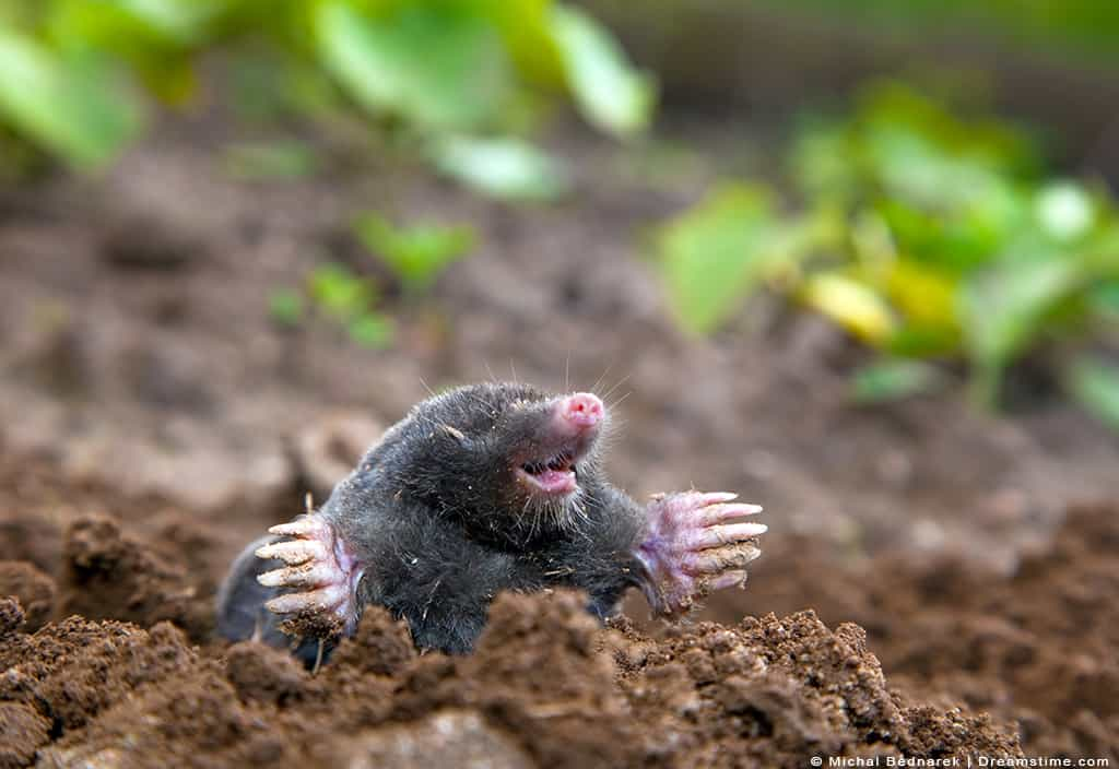 Mole Smiling Digging on Top of Tunnel