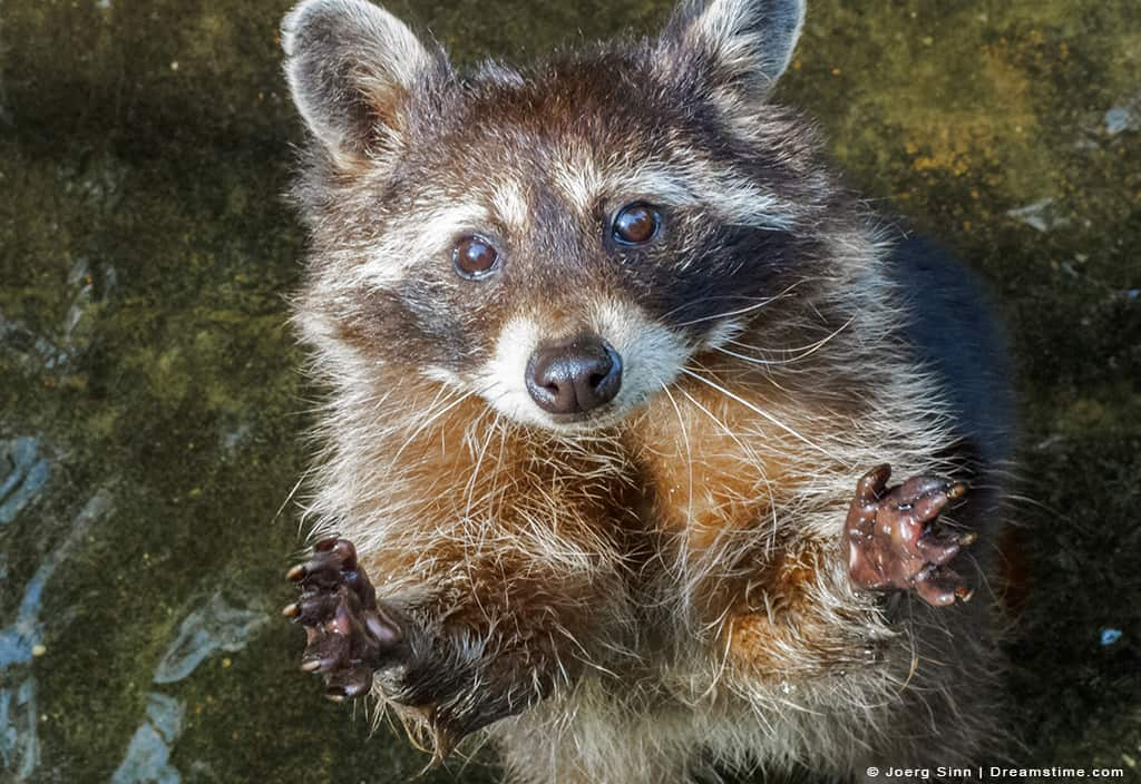 Raccoon Begging for More Food