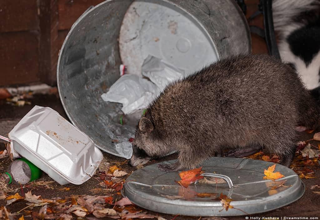 Raccoon Going Through Trash