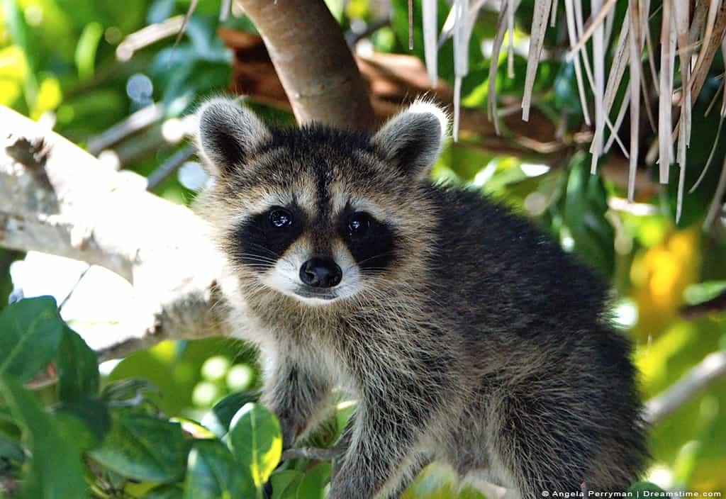 Raccoon High in Tree Looking at Camera