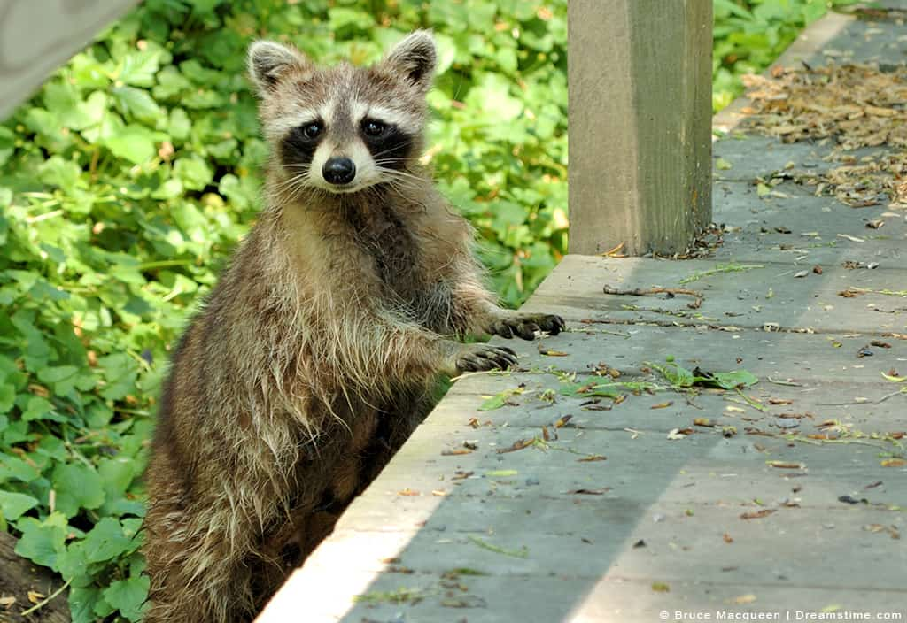 Raccoon Leaning on Porch with Paws up