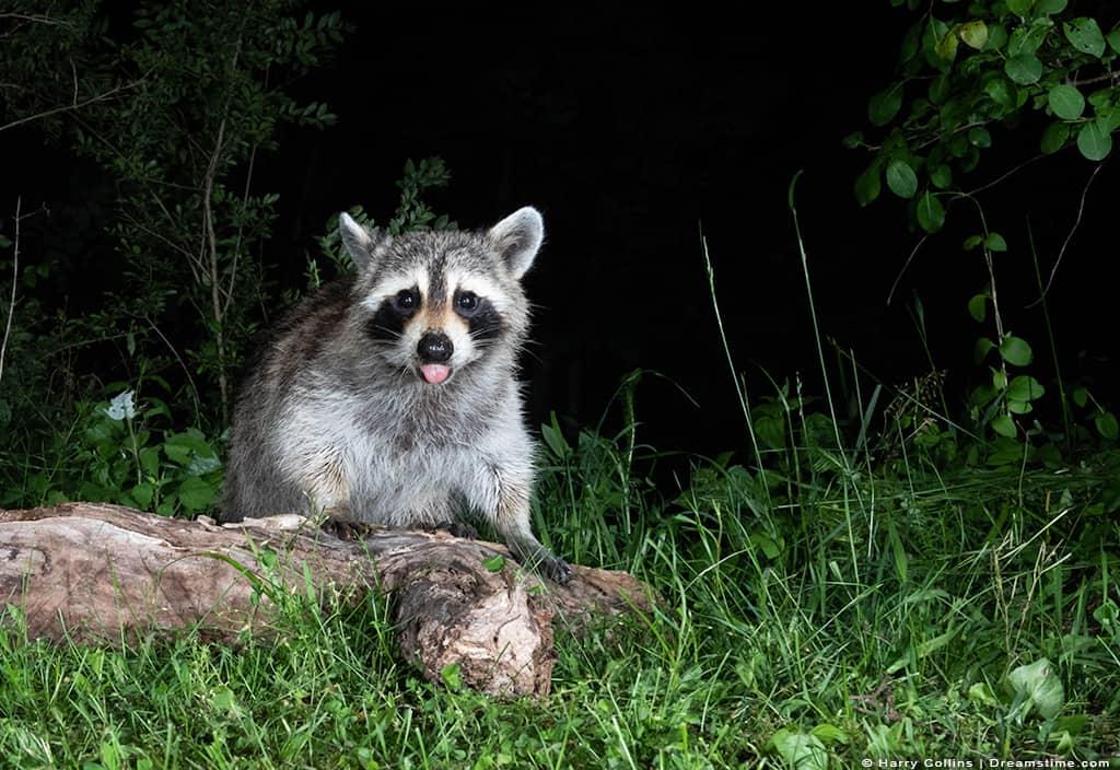Raccoon Looking at Camera at Night with Light