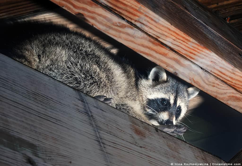 Raccoon Nesting in Attic