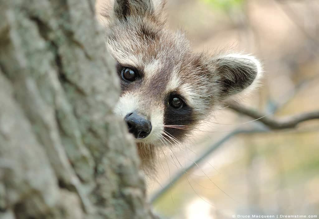 Raccoon Peaking Head Around Tree