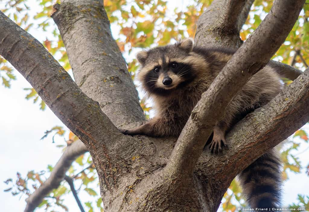 Raccoon Perched High in Tree