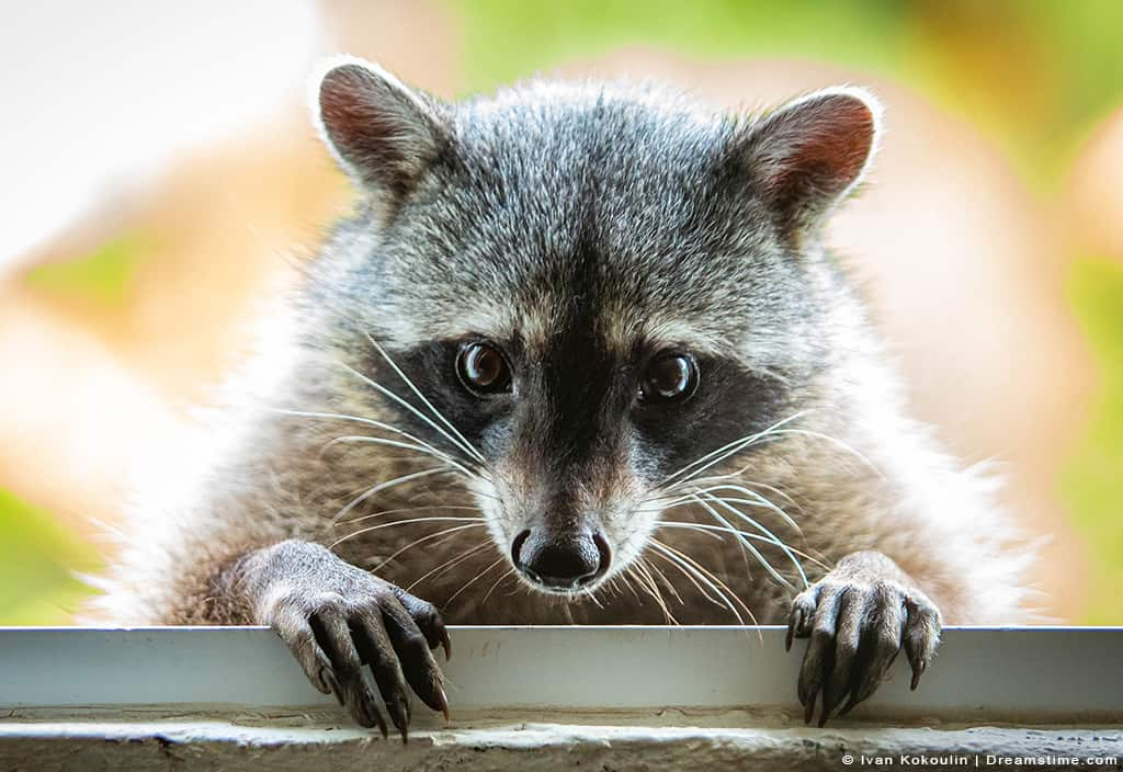 Raccoon Perched Over Siding