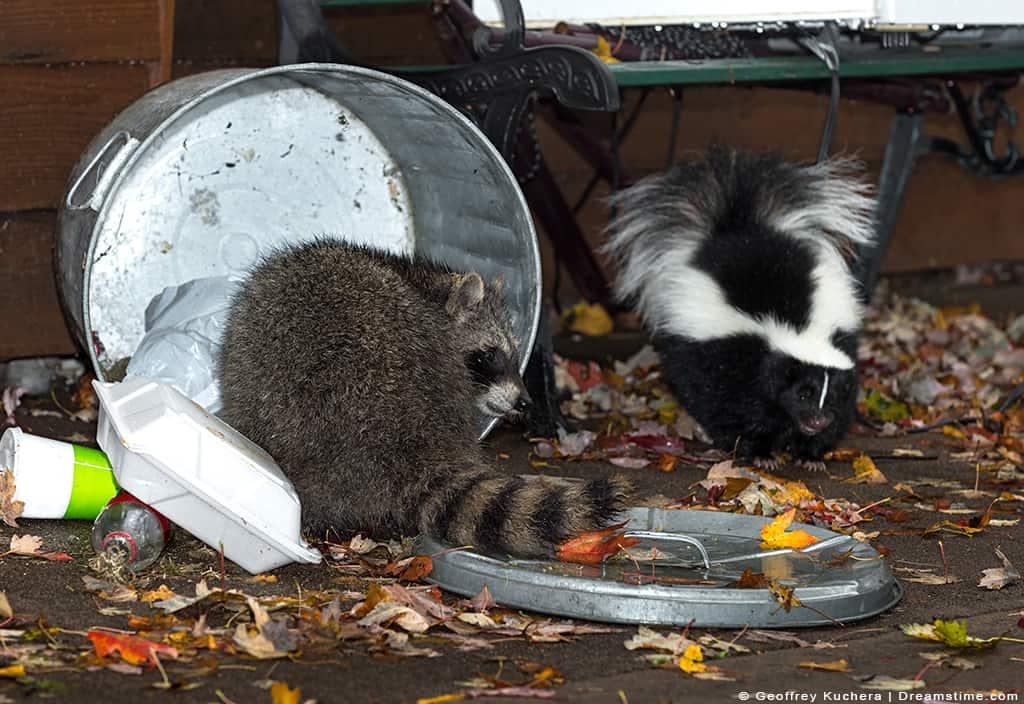 Raccoon and Skunk Raiding Garbage