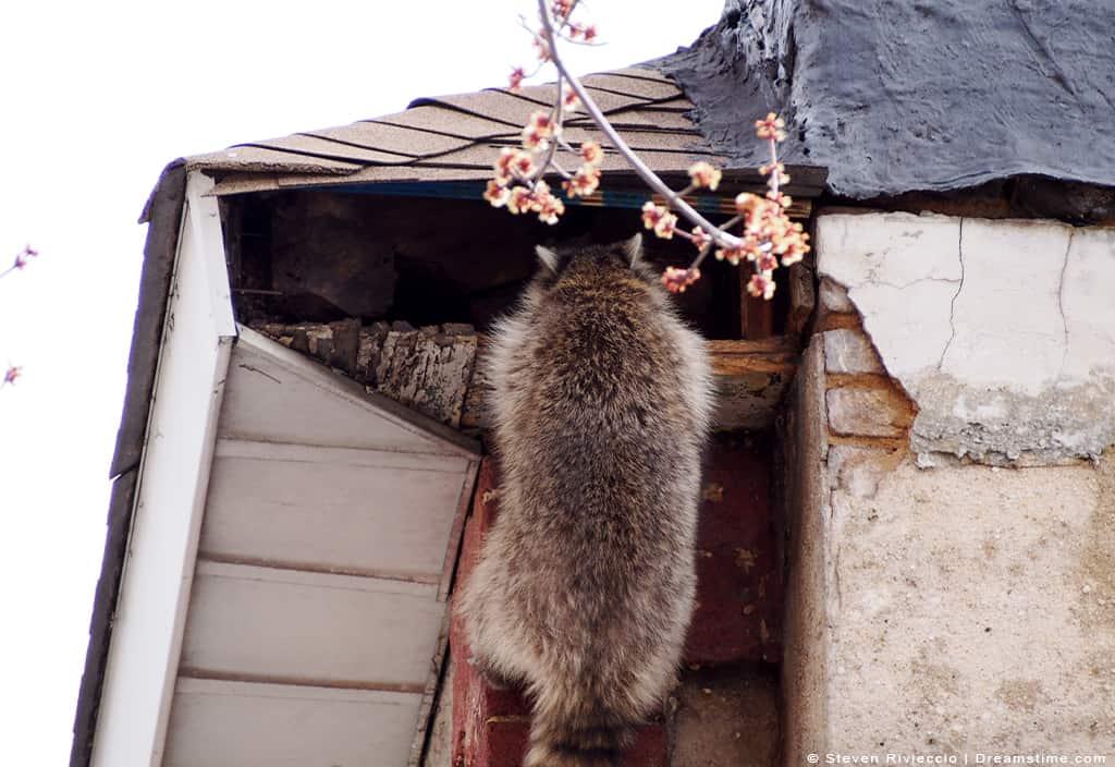 Raccoon climbing into attic