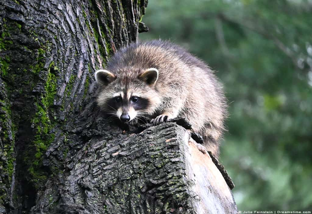 Raccoon in Tree Perched