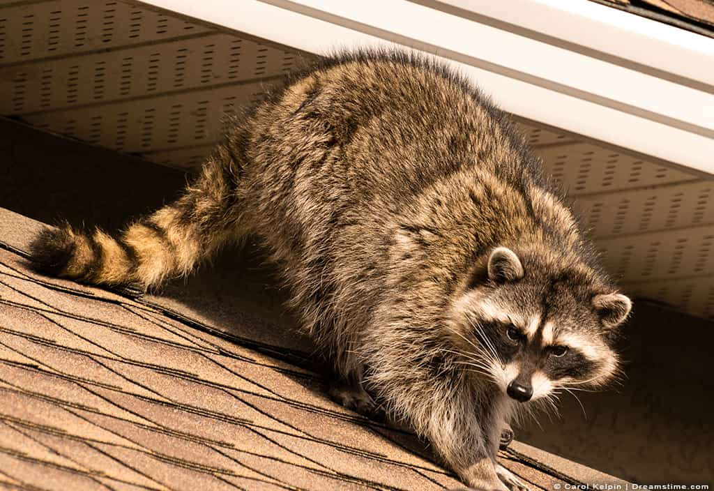 Raccoon on Roof of Home