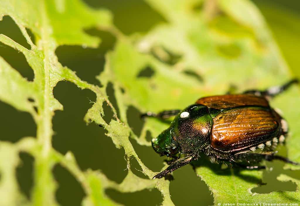 Single Japanese Beetle On Leaf With Bite Holes