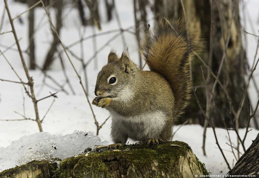 Squirrel Outside in Snow