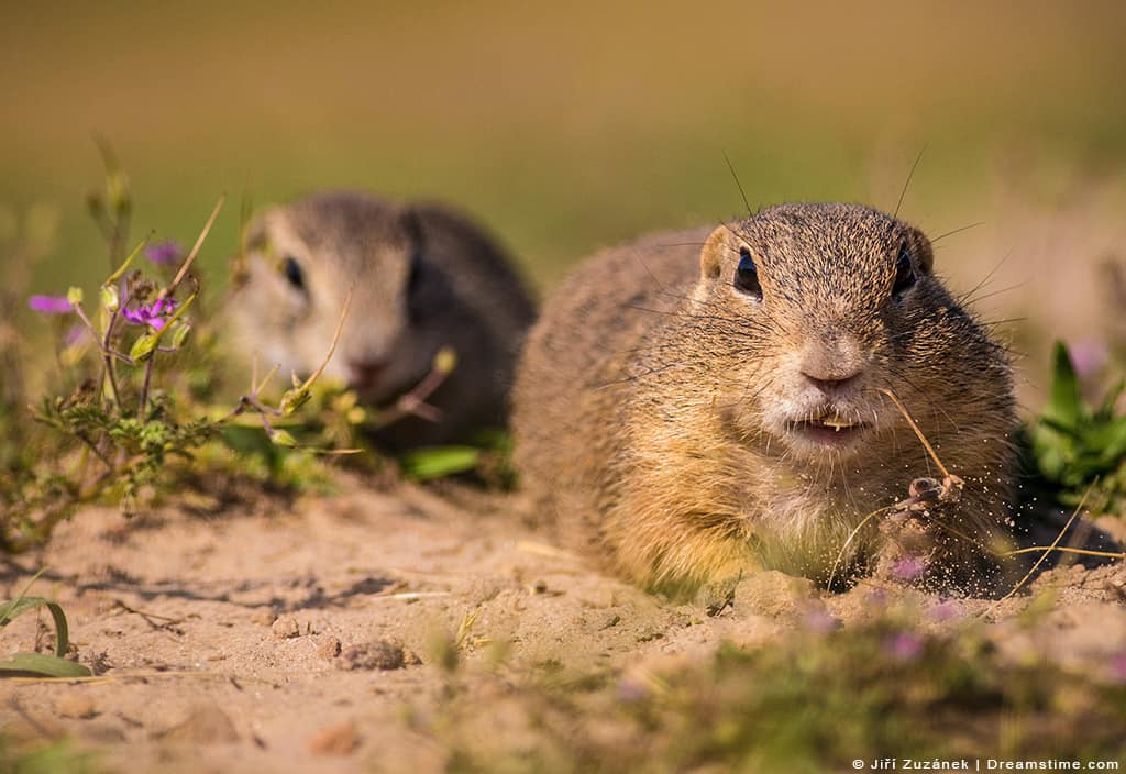Two Gophers on Dirt