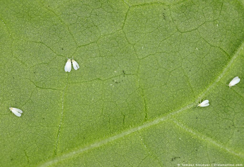 Whiteflies Sitting on Leaf
