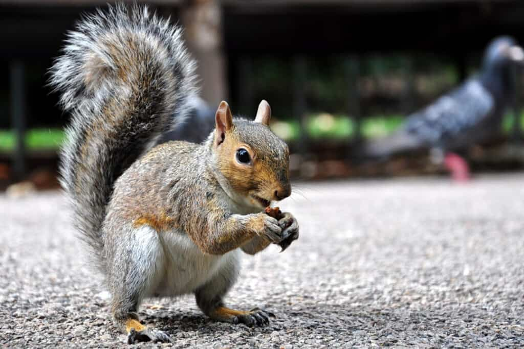 Close up photo of eating squirrel
