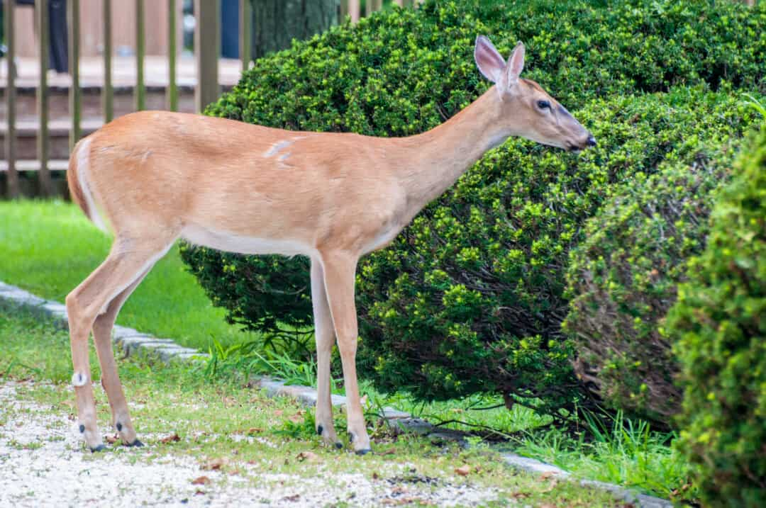 A deer in the yard munching on some shrubs