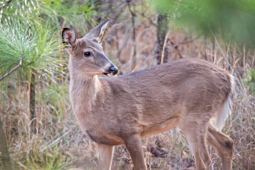 deer doe looking around depp thick forest
