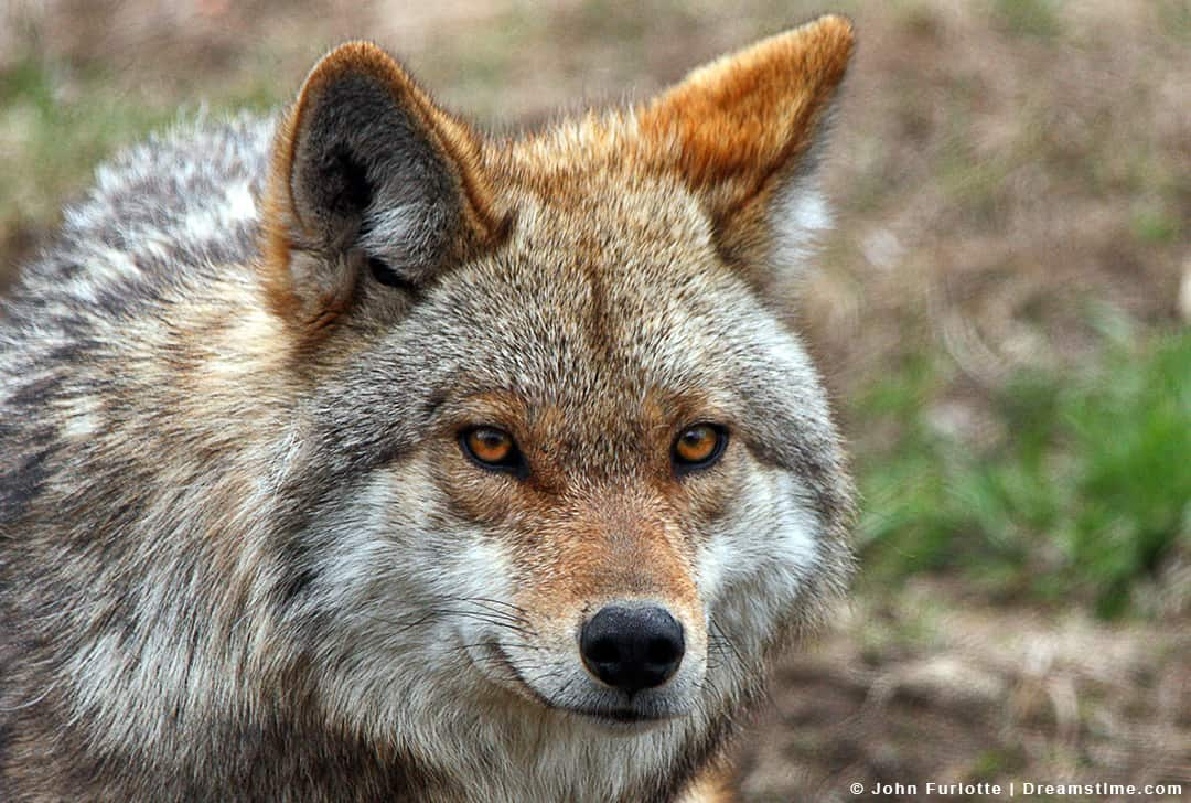 Close Up Shot of Coyote's Face