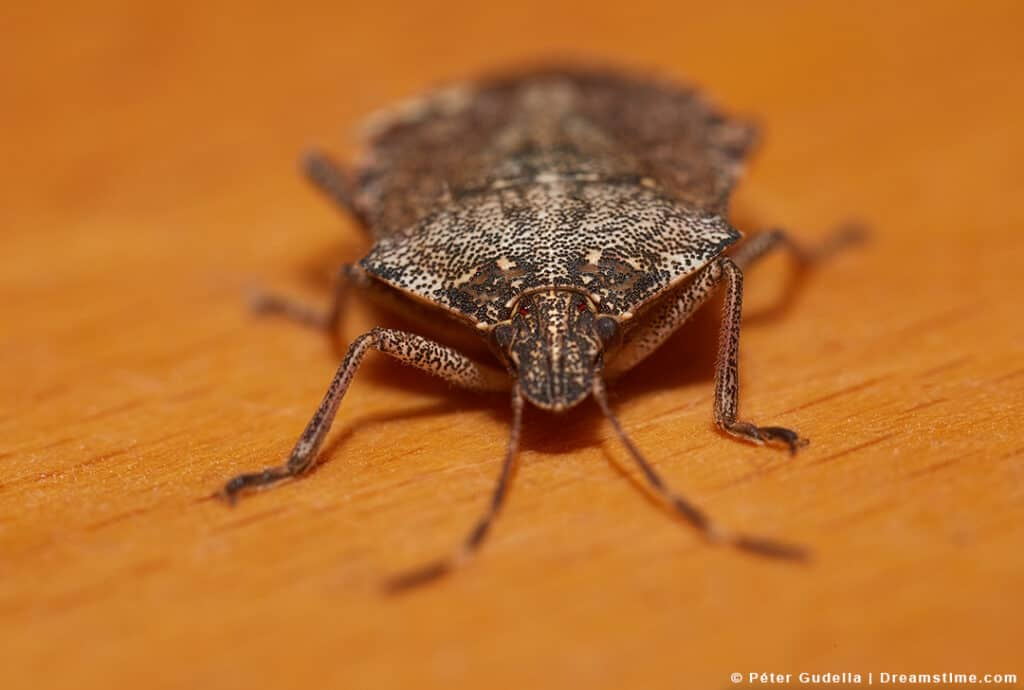 Close Up of Stink Bug on Table