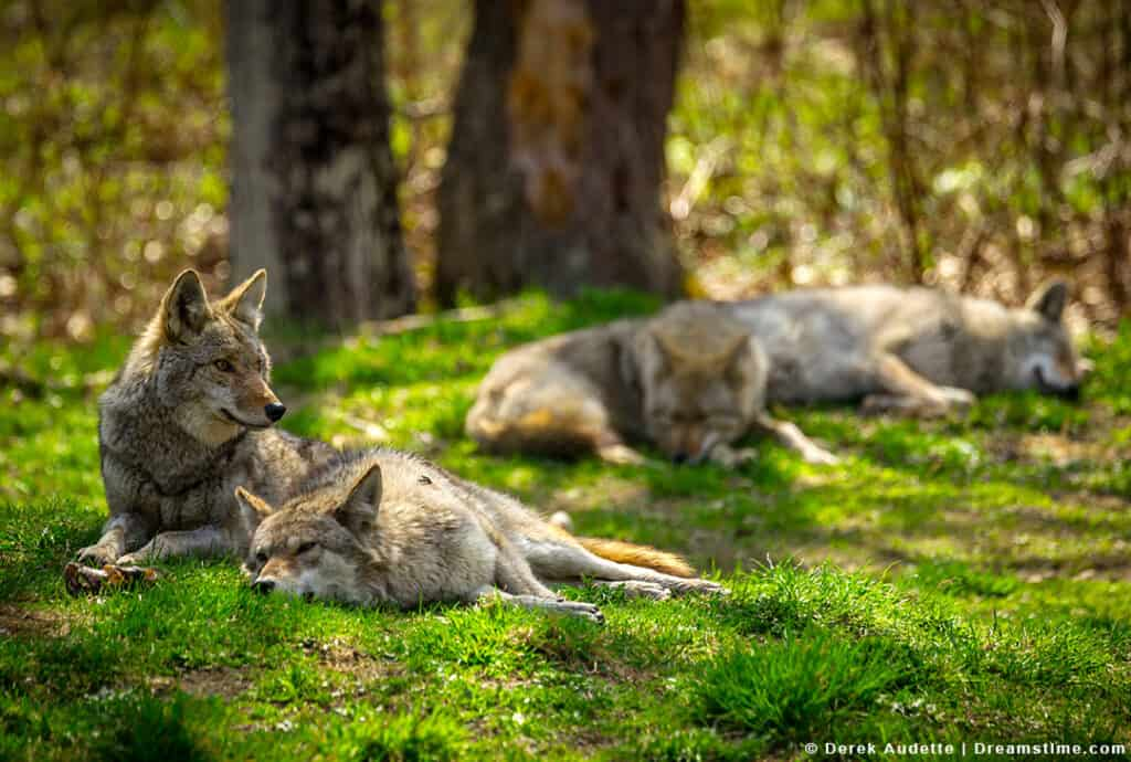 Coyote Pack Sleeping in Grass with Sun