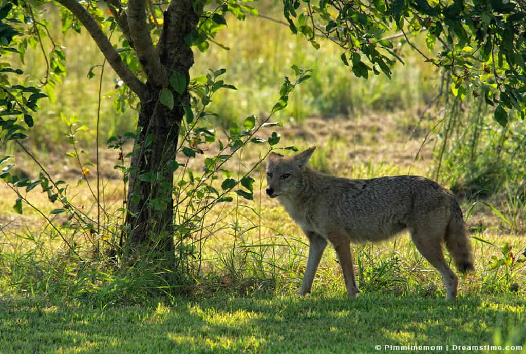 Coyote in Yard During Daytime