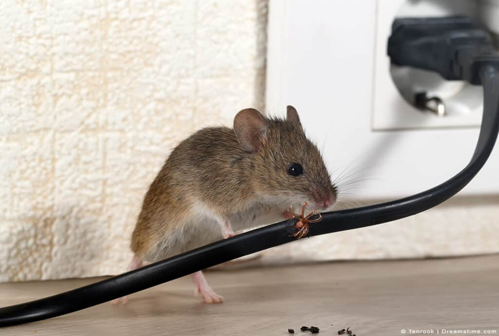 Mouse Chewing on Wire in House