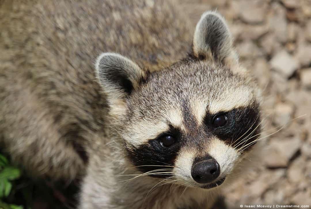 Raccoon Looking at Camera