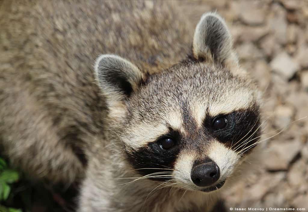 Raccoon Looking into Camera
