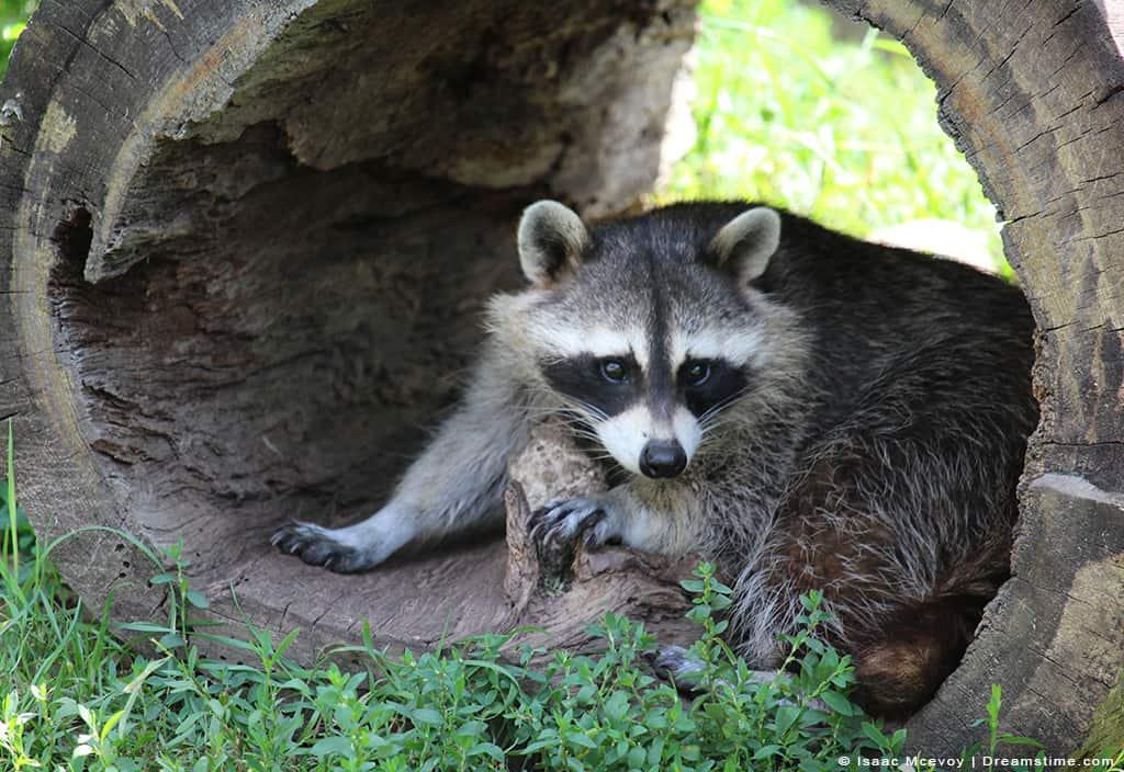 Raccoon Nesting in Log